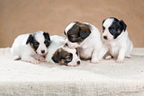 Four little Papillon puppy