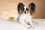 Portrait of a Papillon dog