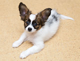 Papillon puppy lying on the floor