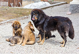 Dog breed Tibetan Mastiff with puppies