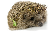 Hedgehog with green leaf