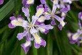 Oregon Irises in Bloom Closeup