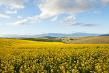 Fields off yellow canola flowers overlooking a valley in South A