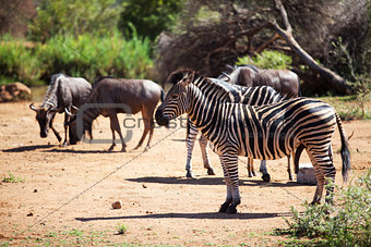Zebra and wildebeest grazing near a waterhole