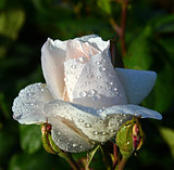 white roses with water drops