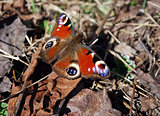 Day butterfly on fallen leaves