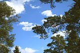 The clouds through the pine forest