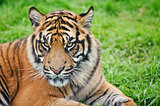 Portrait of Sumatran Tiger Panthera Tigris Sumatrae big cat