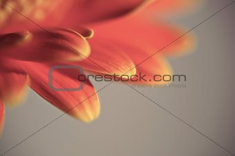 Beautiful gerbera daisy flowermacro with shallow depth of field