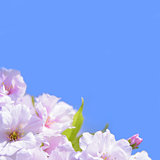 Spring Blossoming Sakura Flowers on the Blue Sky Background