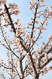 Blue sky and flower of apricot