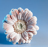iced gerbera flower