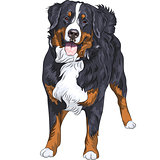 Vector dog breed Bernese mountain dog standing and smiling