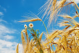 wheat with daisy