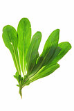 Corn salad (Valeria locusta)
