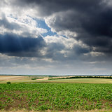 field with green maize under dramatic sky