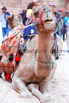 Camel of Petra