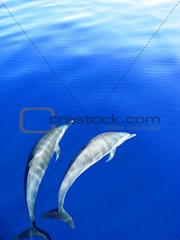 Dolphins chasing the boat