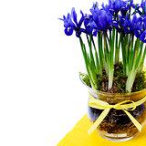 dark purple iris flower