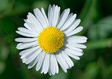 Spring flower daisies