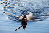 swiming labrador Retriever dog