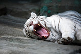 White Tiger Mouth