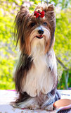 vector pedigreed dog Biewer Yorkshire terrier