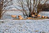 sheep on snow pasture