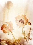 Grunge photo of poppy flowers