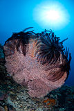 Sea Fan