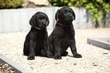 Adorable labrador retriever puppies sitting on a stone path