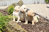 Adorable labrador retriever puppies sitting in line