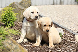 Gorgeous labrador retriever puppies sitting