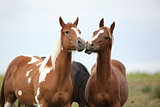 Two young horses playing together on pasturage