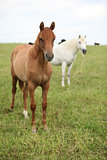 Two young horses standing on pasturage