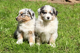 Two gorgeous puppies of australian shepherd