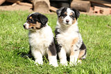 Two gorgeous puppies of australian shepherd