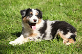 Gorgeous and crazy australian shepherd puppy