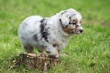 Adorable australian shepherd puppy behind tree stump
