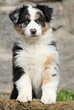 Gorgeous australian shepherd puppy looking at you