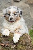 Adorable australian shepherd puppy smiling