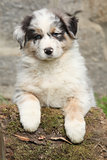 Adorable australian shepherd puppy
