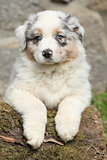 Gorgeous australian shepherd puppy looking at you