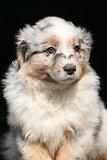 Portrait of gorgeous australian shepherd puppy