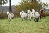 Welsh mountain ponnies running in autumn