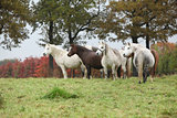 Welsh mountain ponnies in autumn