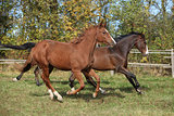 Warmblood horses running on pasturage