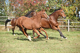 Brown horses running on pasturage
