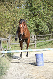 Sport horse jumping in freedom