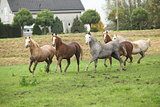 Welsh ponnies running in autumn